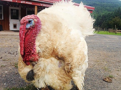 Farm Sanctuary & a Turkey