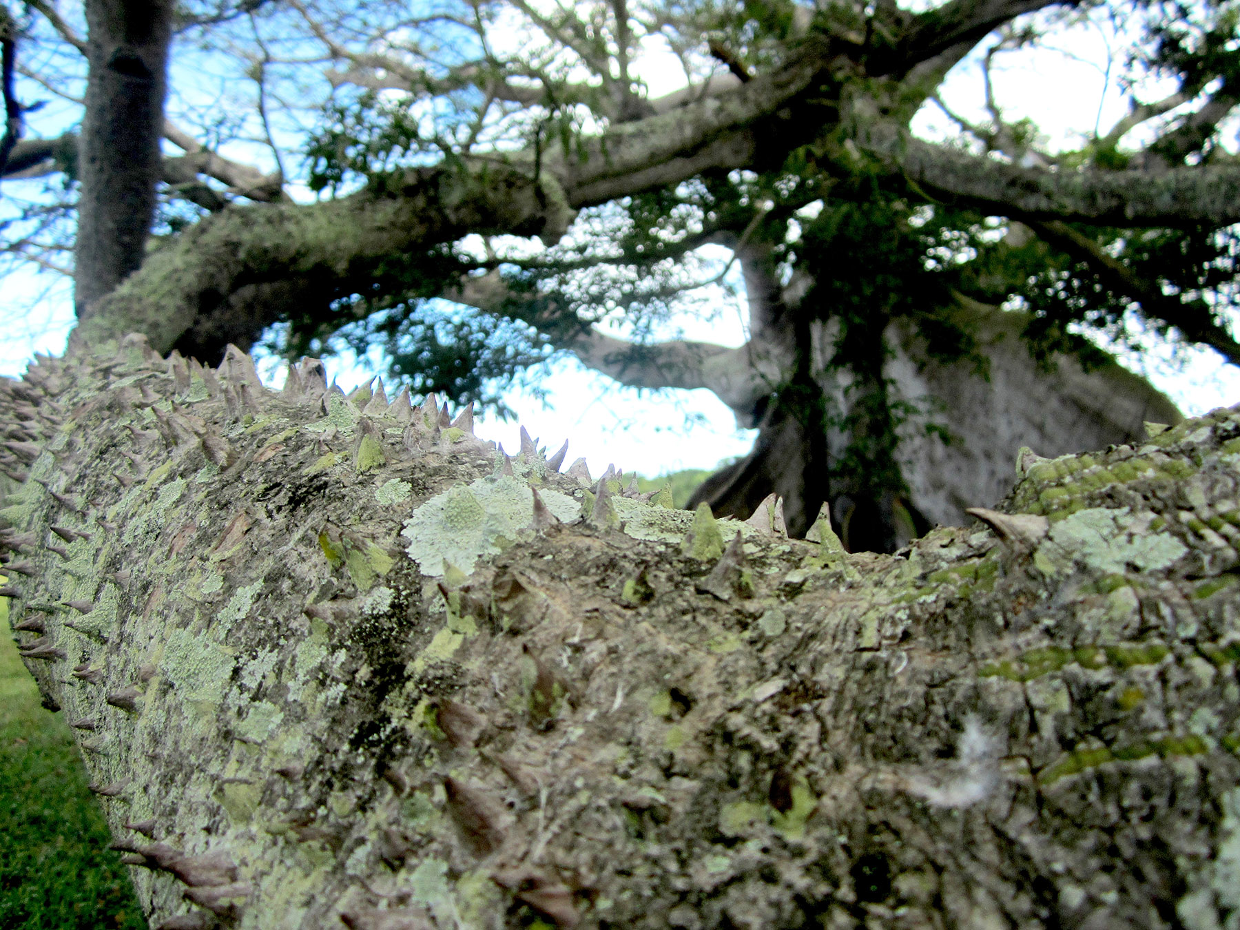 375-Year-Old Ceiba Tree in Vieques