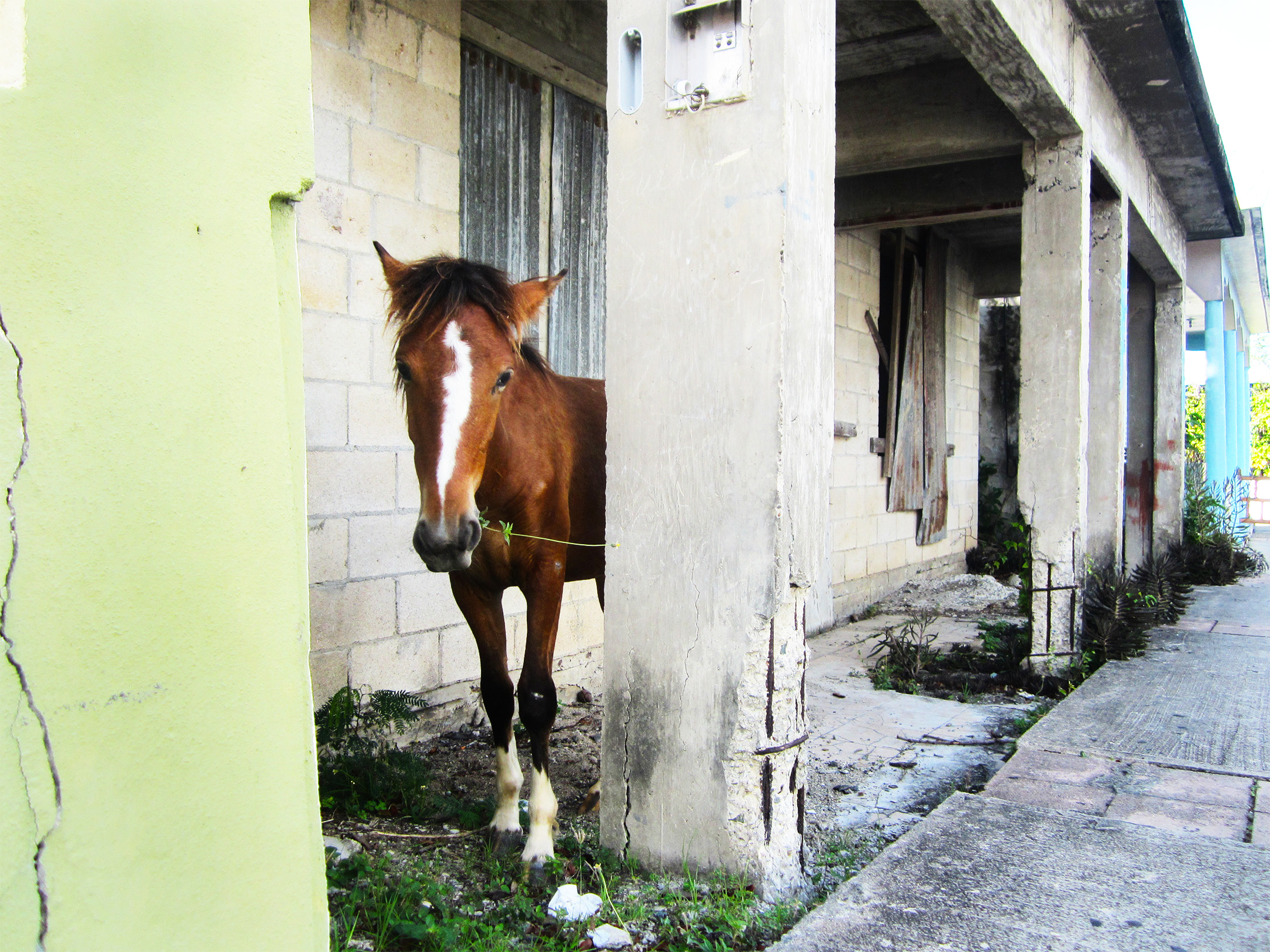 Horses Roam Free in the Streets of Isla de Vieques